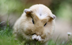 Лечение морских свинок
