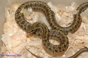 Собаку укусила змея (гадюка) – симптомы, первая помощь