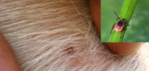 Пироплазмоз (бабезиоз) у собак : возбудитель, симптомы, диагностика, лечение и профилактика